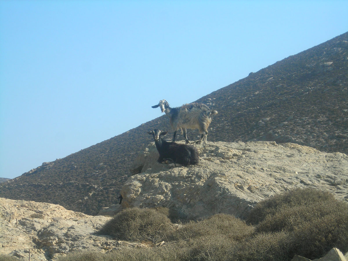 Coming across sheep and goats in Rhenia